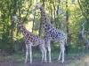 Bronx Zoo - Giraffe